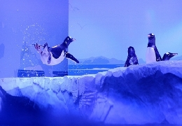 Acrobats of the penguin world in london aquarium